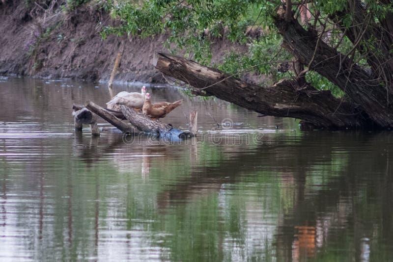 Vögel und Tiere in den wild lebenden Tieren Erstaunliche Nahaufnahmeansicht der Ente auf Stein unter Sonnenlicht lizenzfreies stockbild