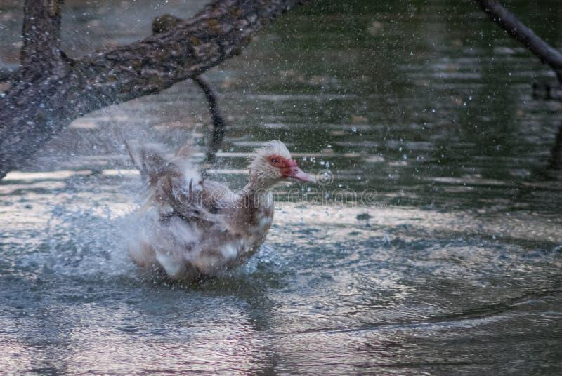 Vögel und Tiere in den wild lebenden Tieren Erstaunliche Nahaufnahmeansicht der Ente auf Stein unter Sonnenlicht stockbild