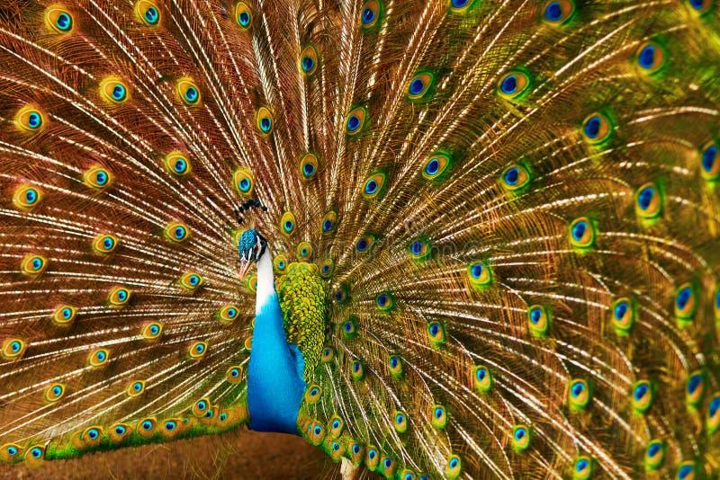 Vögel von Thailand Pfau mit Federn heraus tiere Reise, T lizenzfreie stockfotografie