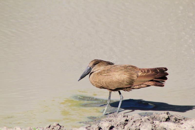 Vögel, wilder Afrikaner - Hamerkop Wasser-Vogel lizenzfreie stockbilder