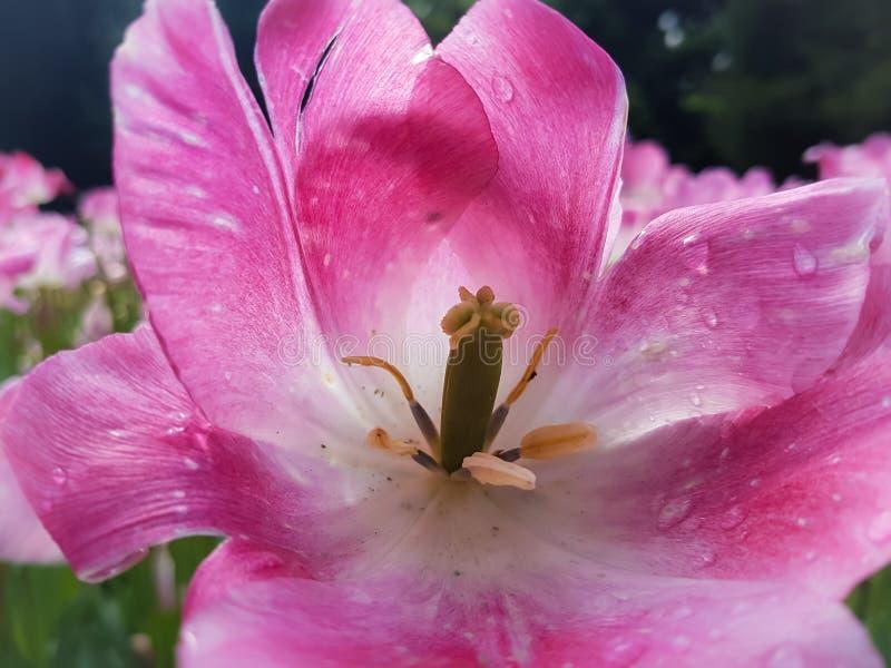 Völlig blühende rosa Tulpennahaufnahme stockfotografie