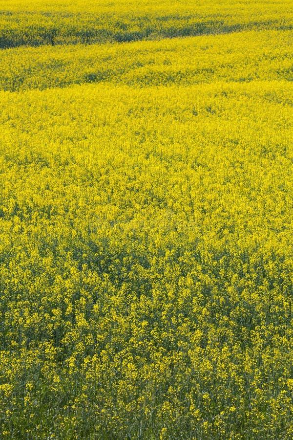 Völlig geblühtes Feld, gelbe Blumen Natürlicher Hintergrund des vollen Frühlinges lizenzfreies stockfoto