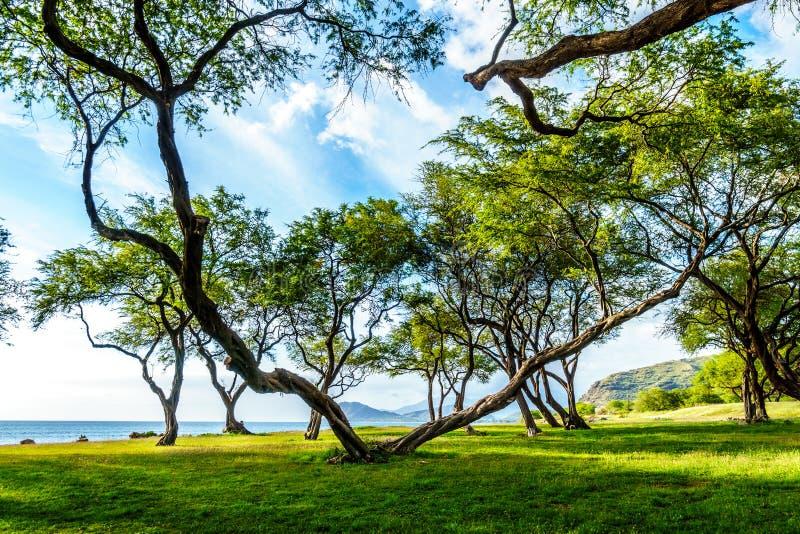 V сформировало дерево на берегах бухты рая на Оаху стоковые фото