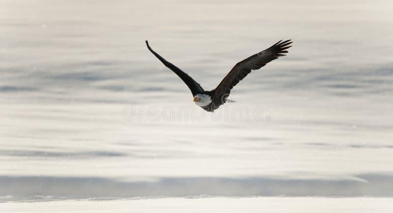 vänta på matande fiskflyg för skallig örn royaltyfri bild