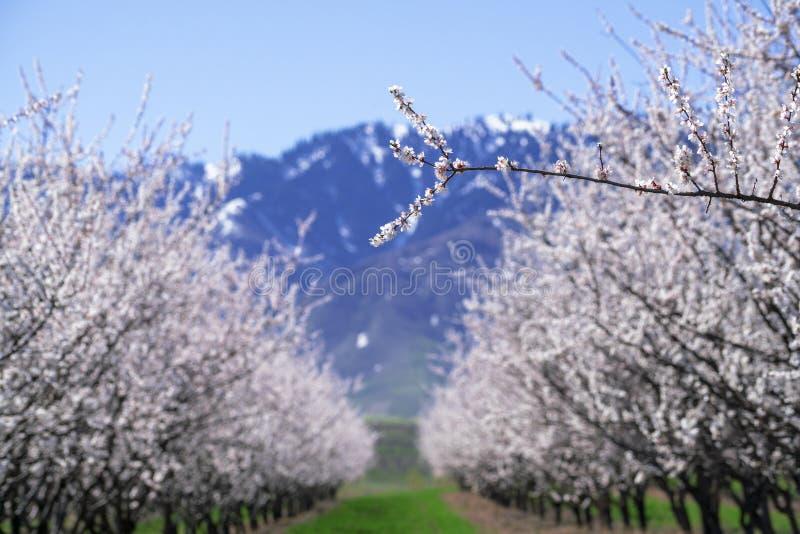 V: Flores brancas espantosas e florescentes com céu azul na primavera fotografia de stock