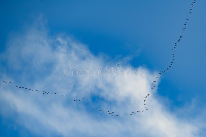 V-formation flight, migration birds, flying cranes in blue autumn sky stock photo