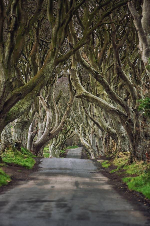 V?g till och med de m?rka h?ckarna en unik v?g n Ballymoney som f?r tunnel f?r boktr?dtr?d ?r nordlig - Irland Lek av biskopsstol royaltyfri fotografi