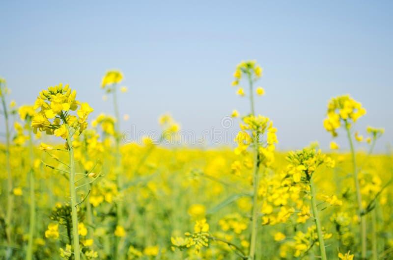 v?ldta Rapsfr?f?lt under blomning Blomk?l, kinak?l och k?l p? tr?sk?rbr?da Oljefr?kultur Jordbruk lantbruk arkivbilder