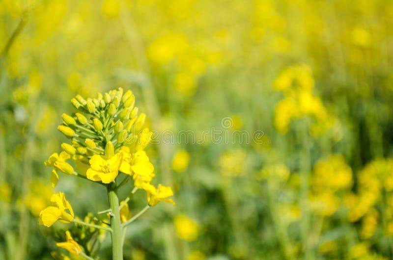 v?ldta Rapsfr?f?lt under blomning Blomk?l, kinak?l och k?l p? tr?sk?rbr?da Oljefr?kultur Jordbruk lantbruk fotografering för bildbyråer