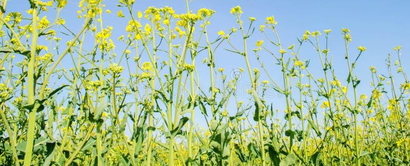 v?ldta Rapsfr?f?lt under blomning Blomk?l, kinak?l och k?l p? tr?sk?rbr?da Oljefr?kultur Jordbruk lantbruk royaltyfri foto