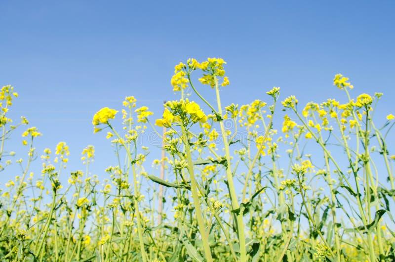 v?ldta Rapsfr?f?lt under blomning Blomk?l, kinak?l och k?l p? tr?sk?rbr?da Oljefr?kultur Jordbruk lantbruk royaltyfria foton