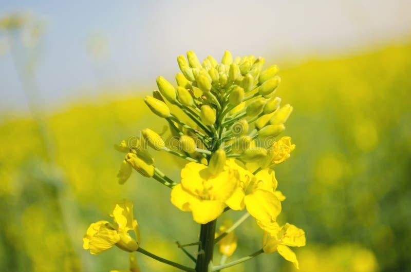 v?ldta Rapsfr?f?lt under blomning Blomk?l, kinak?l och k?l p? tr?sk?rbr?da Oljefr?kultur Jordbruk lantbruk Slapp selektiv fokus _ arkivbilder