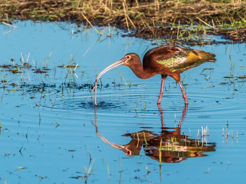 v?nd mot ibis white royaltyfria foton