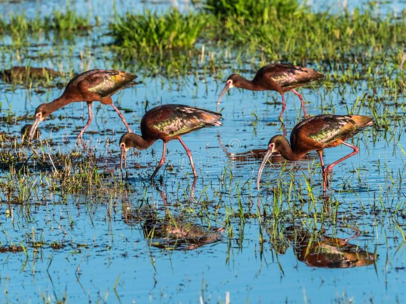 v?nd mot ibis white royaltyfri fotografi