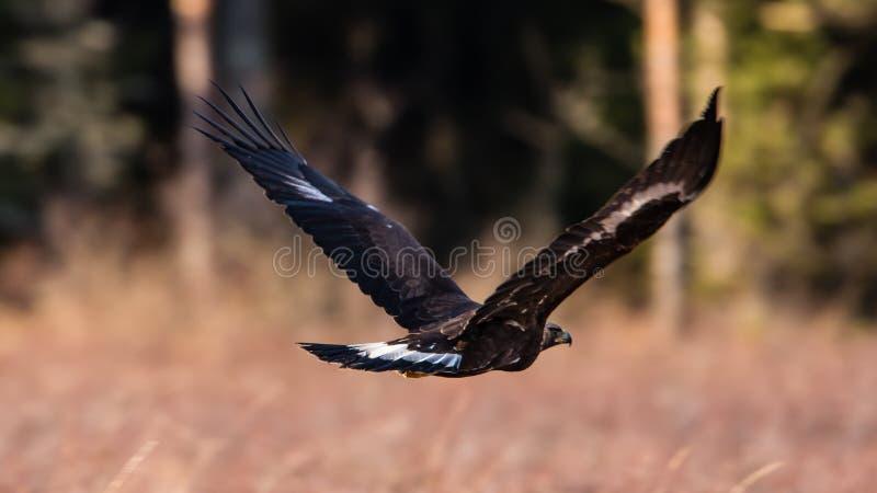 Vôo da águia dourada imagem de stock