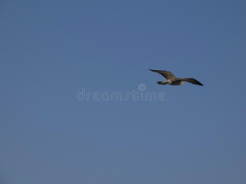 V?o da gaivota com fundo do c?u azul imagem de stock royalty free