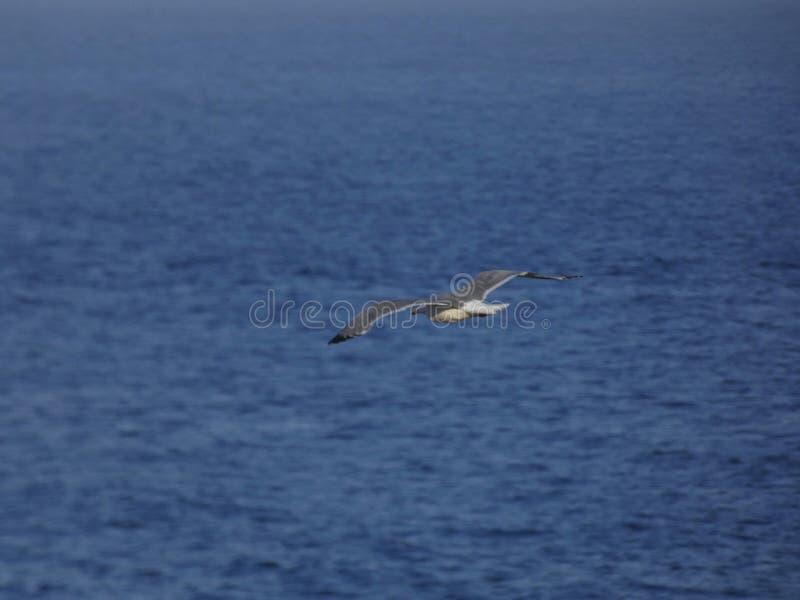 V?o da gaivota com fundo do c?u azul foto de stock royalty free