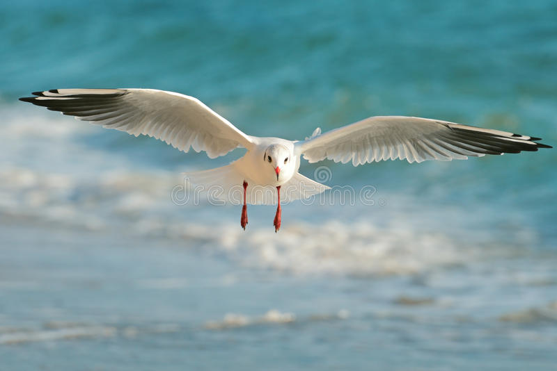 Vôo da gaivota sobre o mar foto de stock royalty free
