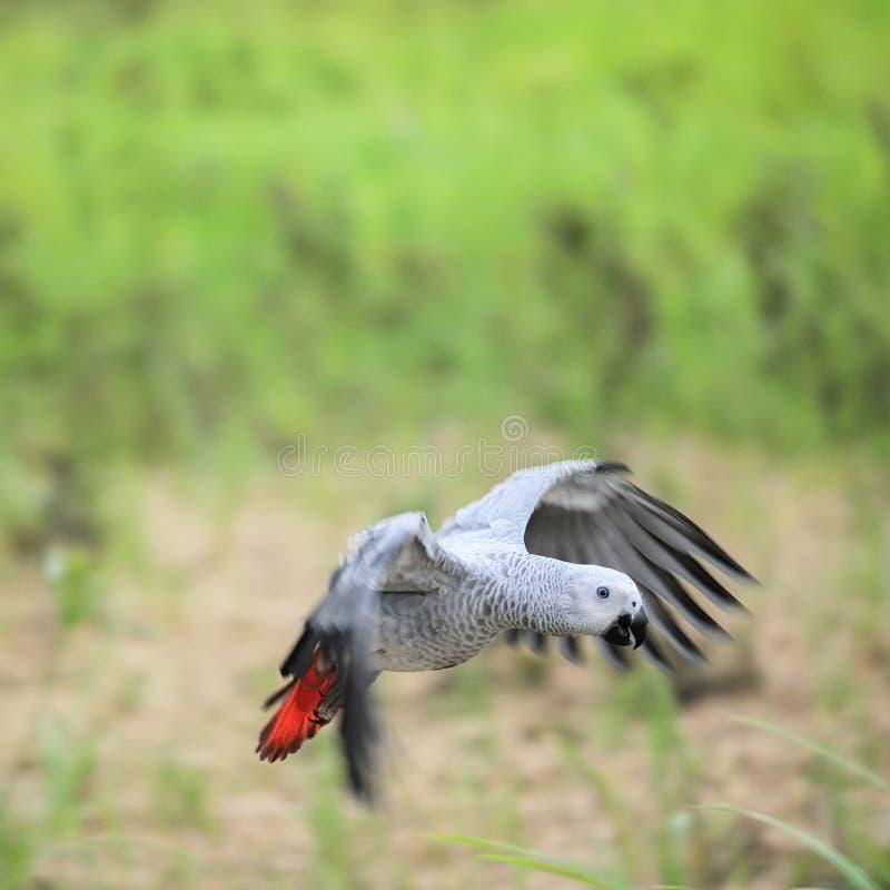 Vôo do papagaio do cinza africano fotos de stock royalty free