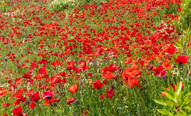 V?r Fältbakgrund för vallmo och för lösa blommor arkivbild