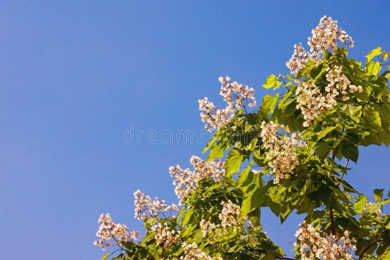 V?r Filial av ett catalpaträd med sidor och vita blommor mot blå himmel fotografering för bildbyråer