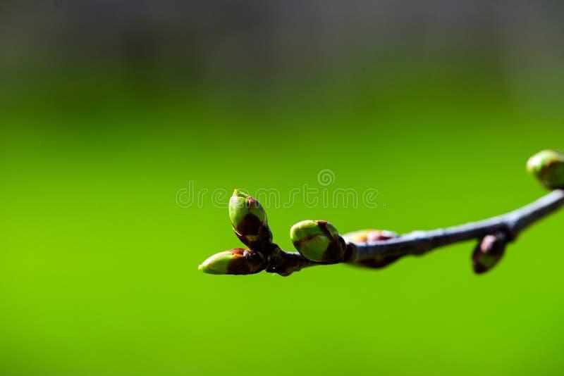 V?r Filialer av det unga äppleträdet i ljust solljus, naturlig grön bakgrund budgie royaltyfri fotografi
