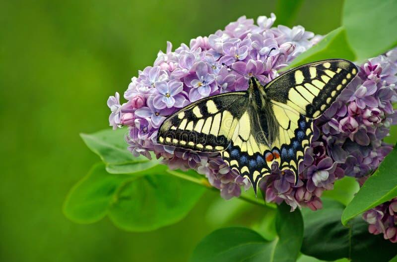 V?r ljus färgrik fjäril på blommor Lila filial i tr?dg?rdn?rbilden Kopieringsutrymmen swallowtailfjäril, papilio arkivbild