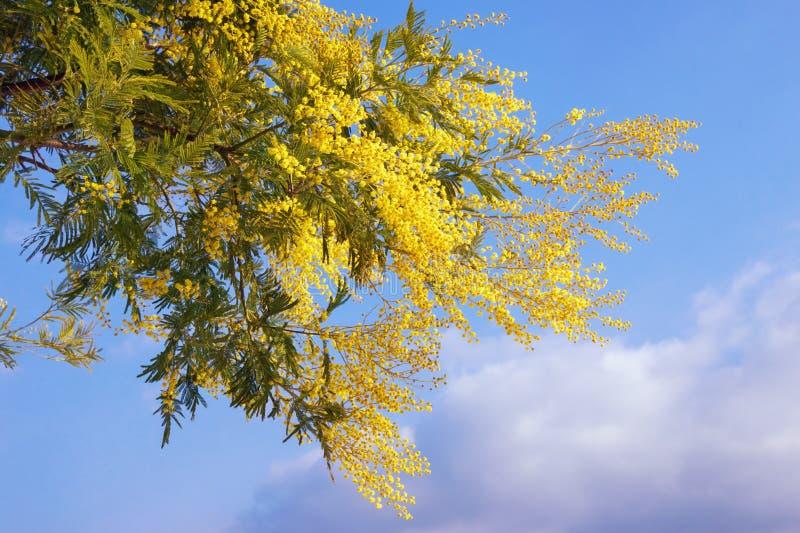 V?r Ljusa gula blommor av akaciadealbataträdet mot blå himmel arkivfoton