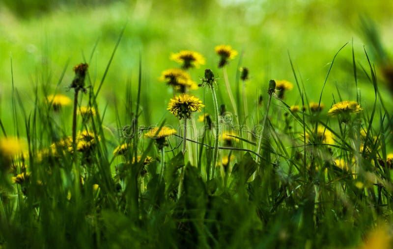 V?r Maskrosor som blommas på gläntan på skogkanten arkivfoto