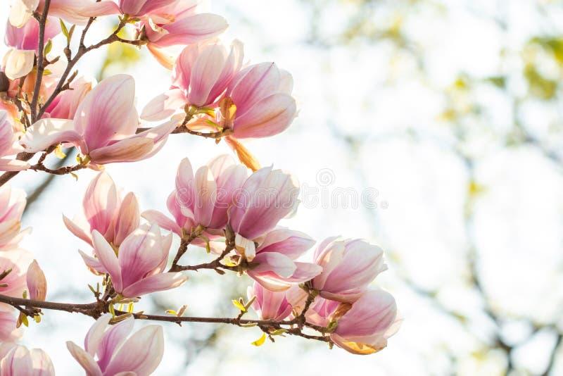 V?rbakgrund som blomstrar soulangeanatr?det f?r magnolia x arkivbild