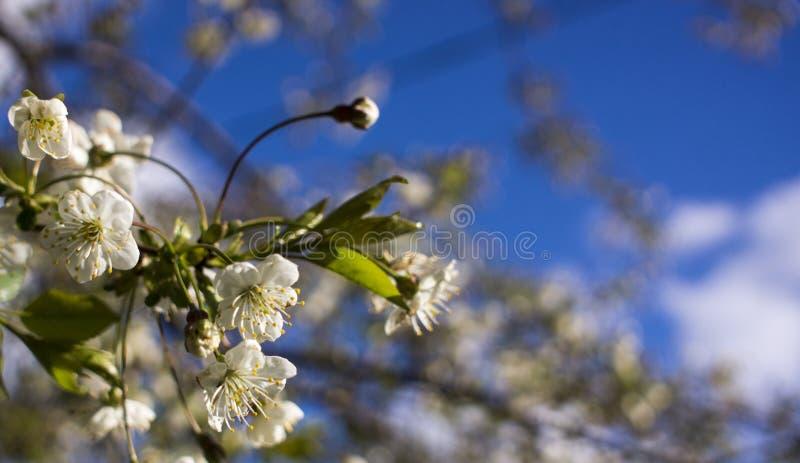 V?rblomning: filialer av att blomma ?pplet eller k?rsb?ret i parkerar Vita blommor av ett äppleträd eller körsbär på en bakgrund  royaltyfri foto