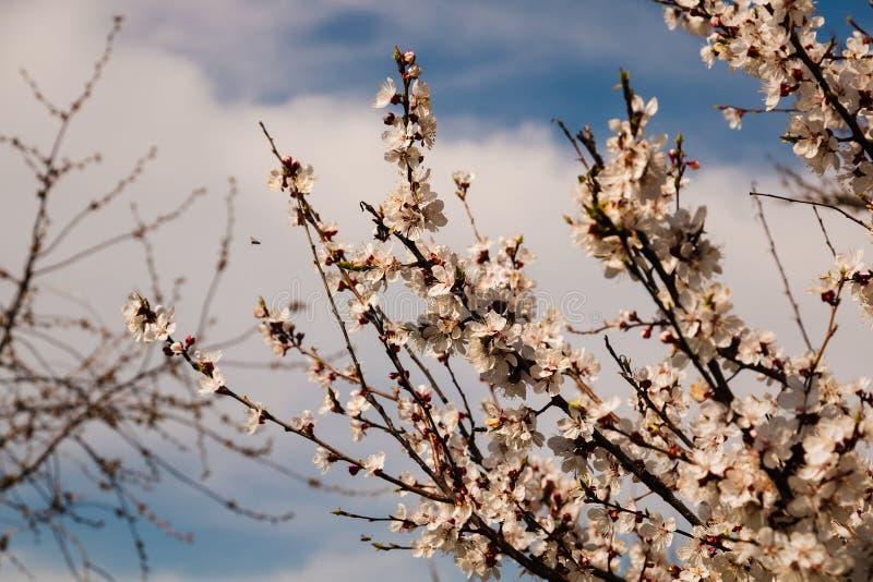 V?rblomningbakgrund Den h?rliga naturplatsen med det blommande tr?det och solen blossar solig dag arkivfoto
