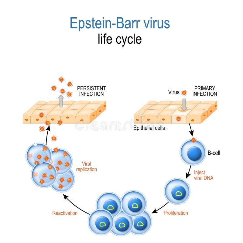 V?rus de Epstein-Barr Ciclo de vida ilustração royalty free