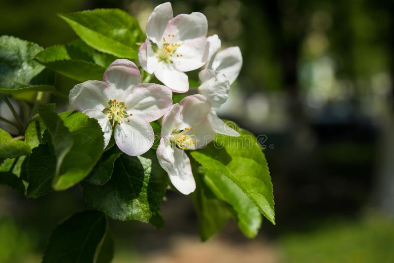 V?rvitblomningar Blomma äppleträdfilialen i trädgården Selektivt fokusera royaltyfria bilder