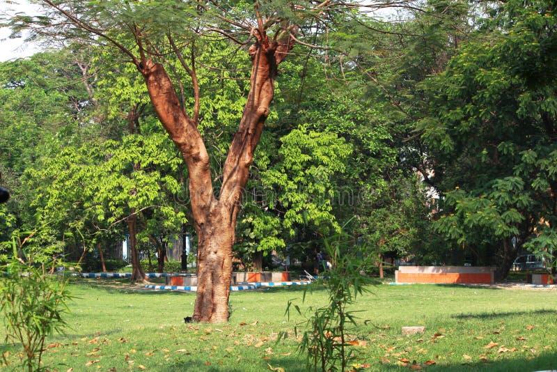 V Shape Tree stock photo