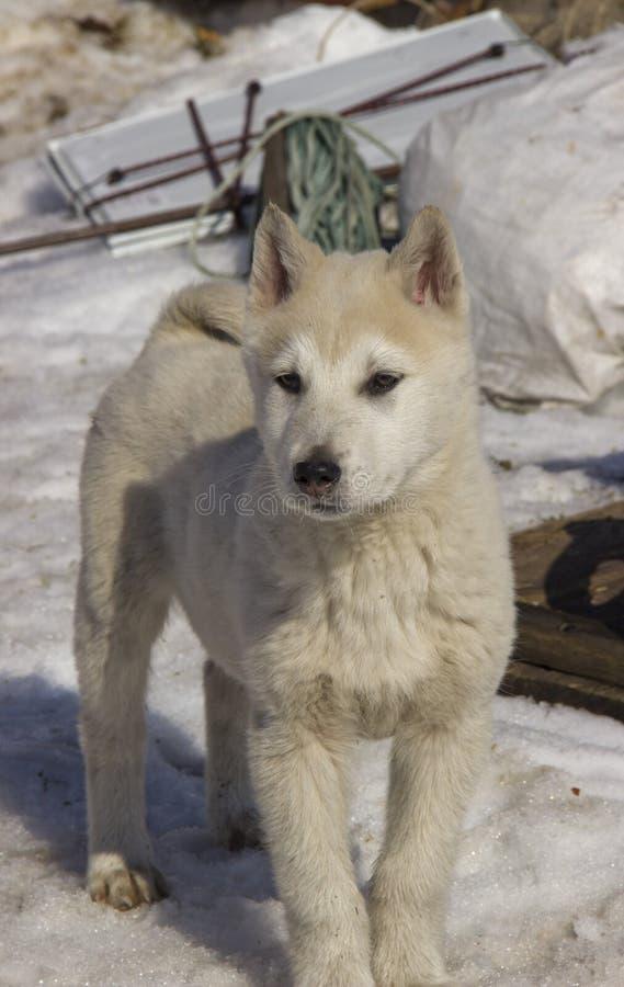 V?stra Siberian Laika f?r valp fotografering för bildbyråer