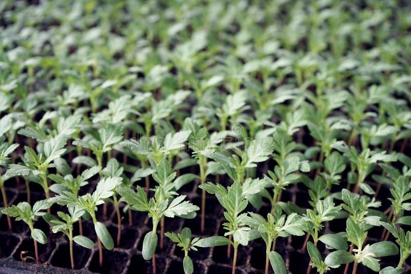 V?xande gr?nsak- och blommaplanta i plantamagasinet, ?kerbrukt begrepp arkivbild