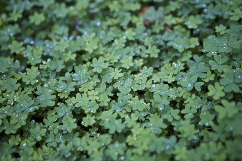 V?xt av sl?ktet Trifolium efter regnet royaltyfri fotografi