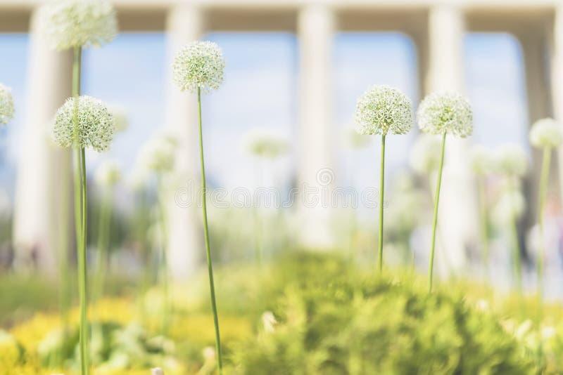 Vaag Allium, witte bloemen, zonnige dag in park, poort, architectuur, ingang, zachte lichte de zomer abstracte achtergrond met royalty-vrije stock afbeeldingen