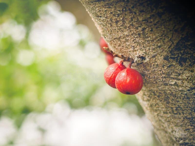 Vaak vijg Ficus carica groen en rood fruit op ficus subpisocarpa boom in bokeh green backgroud Verrukkelijk en gezond vers stock foto's