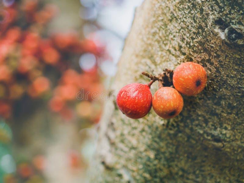Vaak vijg Ficus carica groen en rood fruit op ficus subpisocarpa boom in de openlucht Fruitrijke en gezonde verse vruchten stock afbeelding