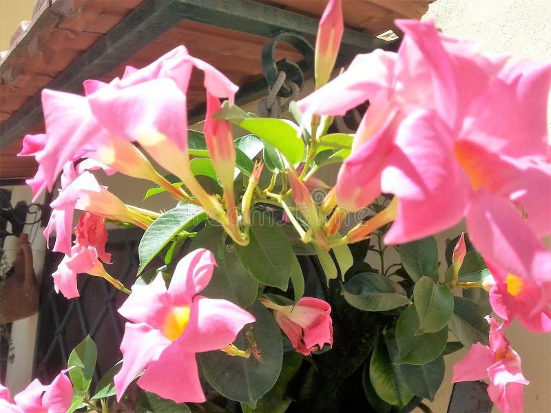 Vaas met Mandevilla-bloemen stock foto