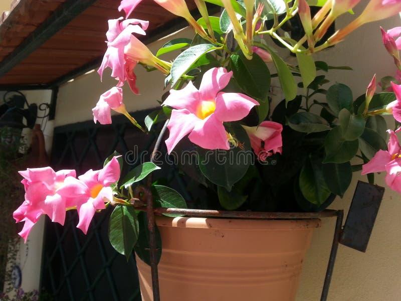 Vaas met Mandevilla-bloemen stock afbeeldingen