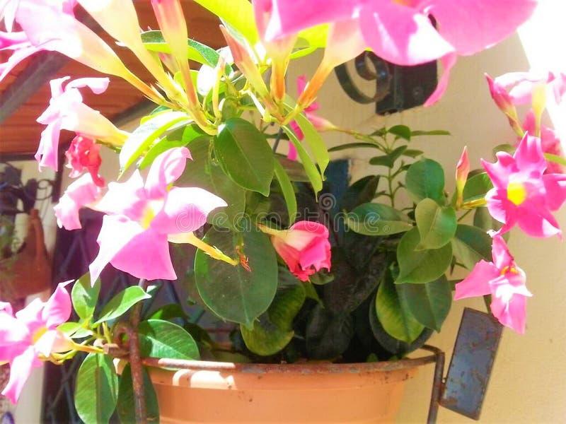 Vaas met Mandevilla-bloemen stock foto's