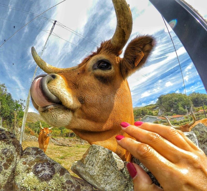 Vaca épica imagen de archivo