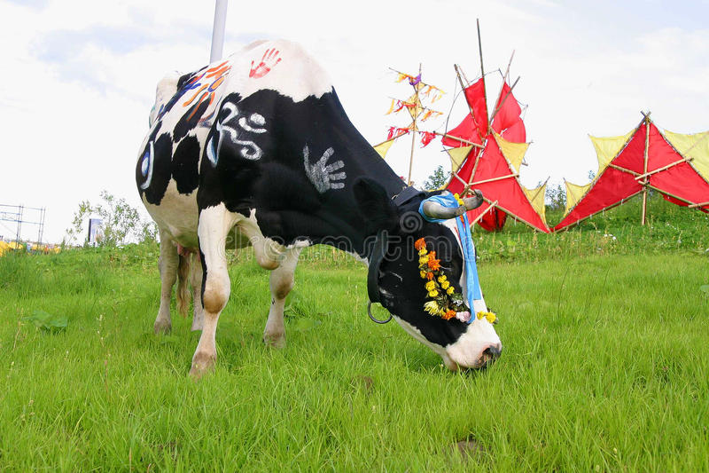 Vaca étnica que pasta em um prado foto de stock royalty free