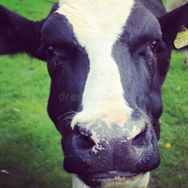 Download Vaca imagen de archivo. Imagen de granja, ganado, campo - 44854753