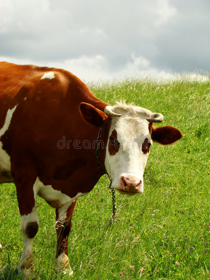 A vaca imagem de stock
