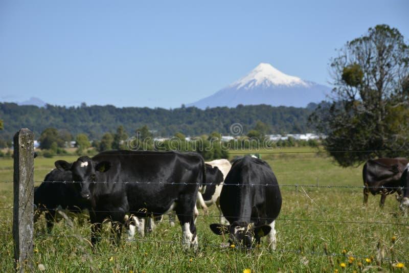 Vaca 免版税库存照片