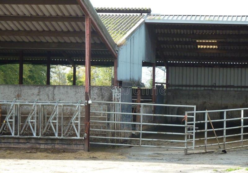 Vaca abandonada derramada em uma exploração agrícola fotos de stock royalty free